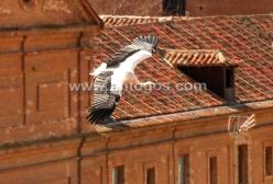 Cigüeña volando sobre los tejados
