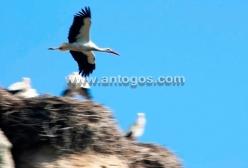 Cigüeña volando sobre su nido